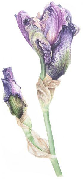 hamilton_iris-watercolour_2